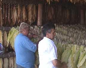 Pócspetri, Burley dohány előkészítése szárításra
