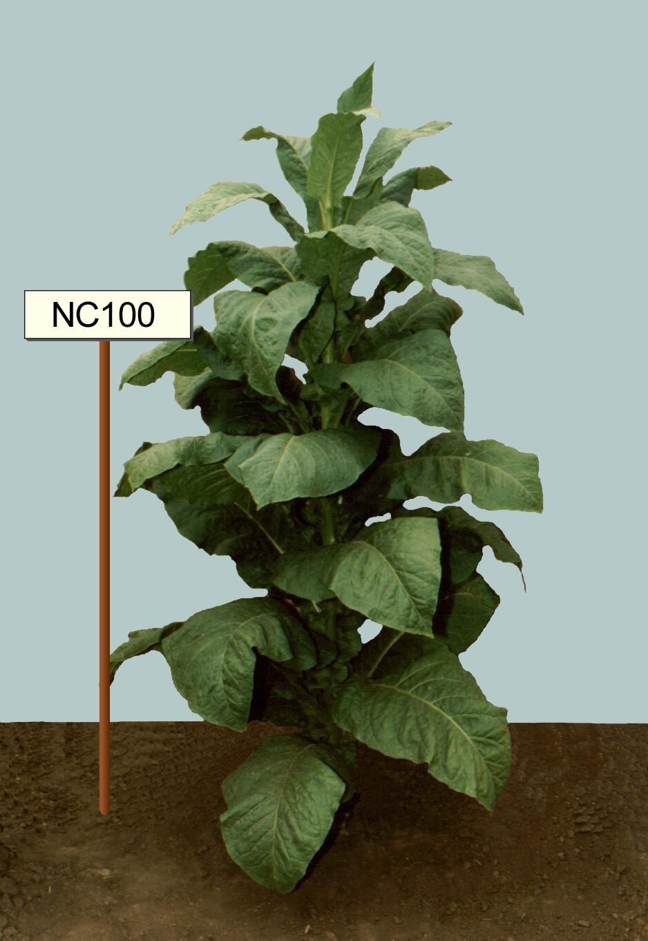 NC-100 fajta