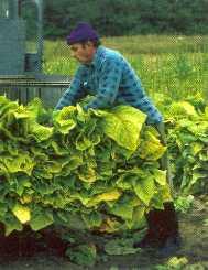 Kunadacs Virginia dohány betakarítása