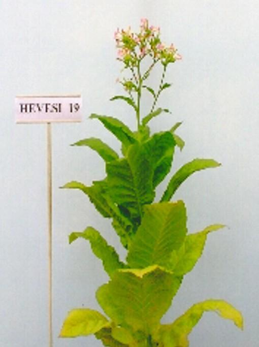 Hevesi 19