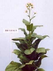 Hevesi 9