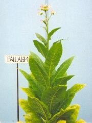 PALLAGI 1