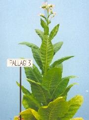 PALLAGI 3